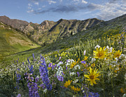 Blue Delphinium Photos - Larkspur And Sunflowers Albion Basin by Tim Fitzharris