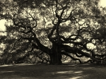 Black And White Framed Prints - Last Angel Oak 72 Framed Print by Susanne Van Hulst