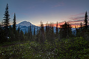 Rainier Prints - Last Lillies Light Print by Mike Reid
