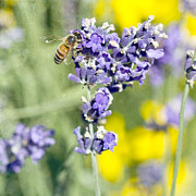 Bee Metal Prints - Last Of The Lavender Metal Print by Rebecca Cozart