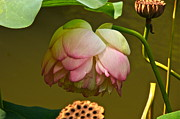 Lotus Seed Pod Posters - Last Of The Lotuses Poster by Byron Varvarigos