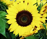 Sunflowers Art - Last of the Sunflowers by Cathie Tyler