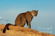Cougars Prints - Late Afternoon Foray Print by Sandra Bronstein