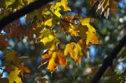 Autumn Foliage Photos - Late Afternoon Gold by Ross Powell