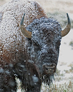 Bison Art - Late Spring Snow Buffalo by Gary Langley