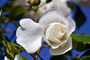White Roses Originals - Late Summer Rose. by Terence Davis