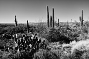 Saguaro Metal Prints - Late Winter Desert Metal Print by Chad Dutson