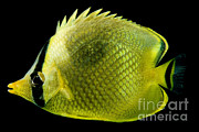 Reef Fish Posters - Latticed Butterflyfish Poster by Danté Fenolio