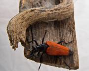 Laughing Photo Posters - Laughing Beetle Poster by Douglas Barnett