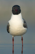 Laughing Posters - Laughing Gull Poster by Clarence Holmes