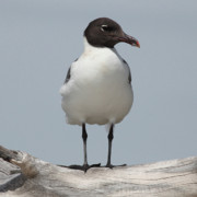 Sea Gull Originals - Laughing Gull by Joseph G Holland