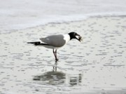 Birding Photos - Laughing Gull Meal by Al Powell Photography USA