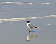 Outdoor Photography Posters - Laughing Gull Reflecting Poster by Al Powell Photography USA
