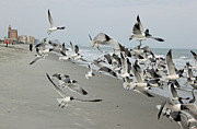 Laughing Photo Posters - Laughing Gulls II Poster by Suzanne Gaff