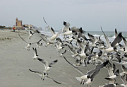 Laughing Photo Framed Prints - Laughing Gulls III - a Flying Frenzy Framed Print by Suzanne Gaff
