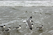 Flying Seagull Prints - Laughing Gulls IV- Follow Me Print by Suzanne Gaff