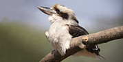 Laughing Photo Framed Prints - Laughing Kookaburra Framed Print by Linda Wright