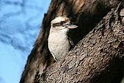 Wa Posters - Laughing Kookaburra  Poster by Tony Brown