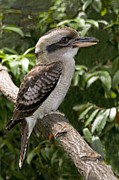 Laughing Photo Framed Prints - Laughing Kookaburra Framed Print by Tony Camacho