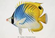 Tropical Fish Paintings - Lauhau by Hawaiian Legacy Archive - Printscapes