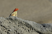 Lava Lizard On Lava Rock Print by Sami Sarkis