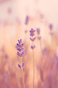 Lavender Framed Prints - Lavandines 02 - s09a Framed Print by Variance Collections