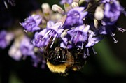 Lorri Crossno - Lavendar Bumble Bee