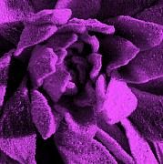 Plant Life Digital Art Prints - Lavendar Jewels Print by JoAnn SkyWatcher