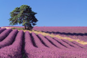 David Nunuk - Lavender and Pine Tree