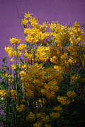 Forsythia Photos - Lavender And Yellow by Skip Willits