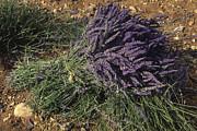 Lavender Print by Bernard Jaubert