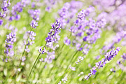 Herbs Posters - Lavender blooming in a garden Poster by Elena Elisseeva