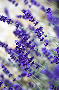 Colorful Flowers Posters - Lavender Blue Poster by Frank Tschakert