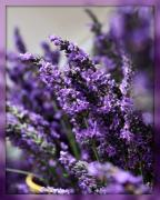 Flora Art Prints - Lavender Print by Cathie Tyler