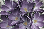 Carolyn Stagger Cokley Metal Prints - Lavender Crocus Metal Print by Carolyn Stagger Cokley