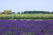 Color Purple Prints - Lavender Farm Print by David Patterson