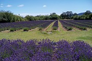 Laurel Thomson Art - Lavender Farm by Laurel Thomson