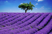 Field. Cloud Framed Prints - Lavender Field And Tree Framed Print by Matteo Colombo