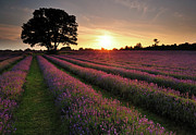 In A Row Art - Lavender Field by Andreas Jones
