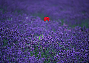 Lavender Blossom Posters - Lavender Field Poster by Datacraft Co Ltd