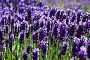 Color Purple Framed Prints - Lavender Field Framed Print by David Patterson