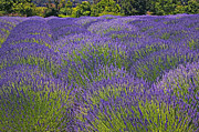 Lavender Field Print by Garry Gay