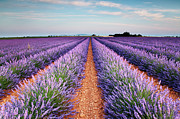 Rural Scene Framed Prints - Lavender Field In Blossom Framed Print by Matteo Colombo