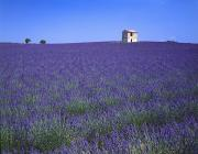 Farm Structure Framed Prints - Lavender Field In Southern France Framed Print by David L. Brown
