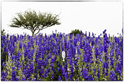 Lavender Flowers Photos - Lavender Field by Lisa  Spencer