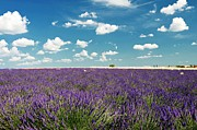 Field. Cloud Framed Prints - Lavender Field Framed Print by Paul Biris