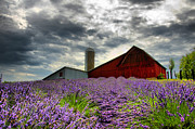 Horton Framed Prints - Lavender Field Framed Print by Russell Todd