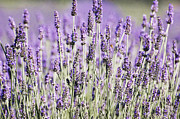 Lavender Fields Acrylic Prints - Lavender fields 2 Acrylic Print by Anahi DeCanio