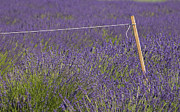 Lavender Fields Acrylic Prints - Lavender Fields  Acrylic Print by Anahi DeCanio