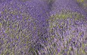 North Fork Metal Prints - Lavender Fields Heart Metal Print by Anahi DeCanio